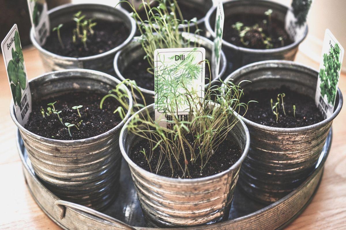 Kuidas alustada maitsetaimede kasvatamisega?