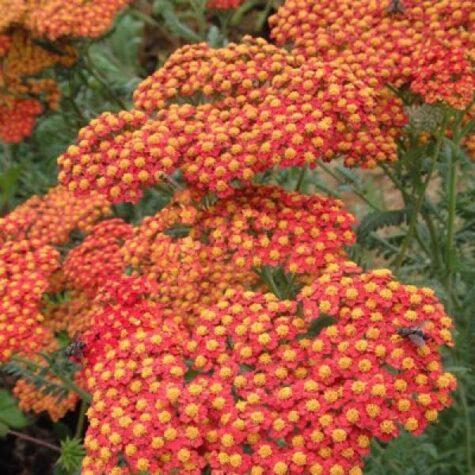 Raudrohi Millefolium Paprika 1 tk