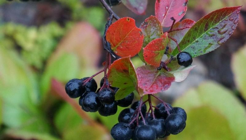 Must aroonia taim