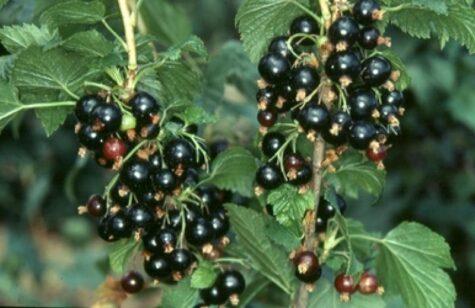 Must sõstar Titania taim