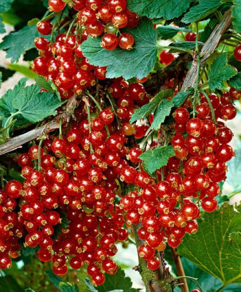 Punane sõstar Jonkheer van Tet's taim