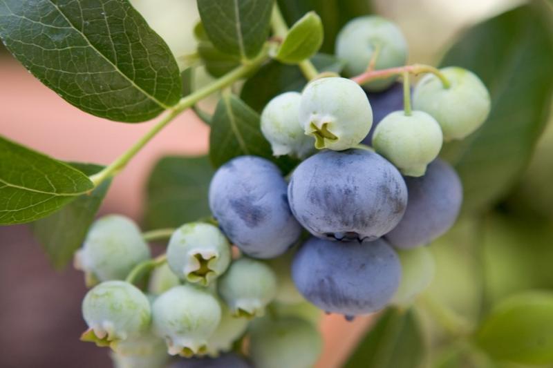Kännasmustikas Bluecrop taim