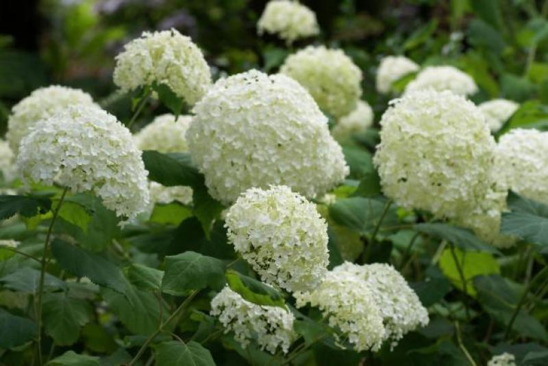 Puishortensia Annabelle taim