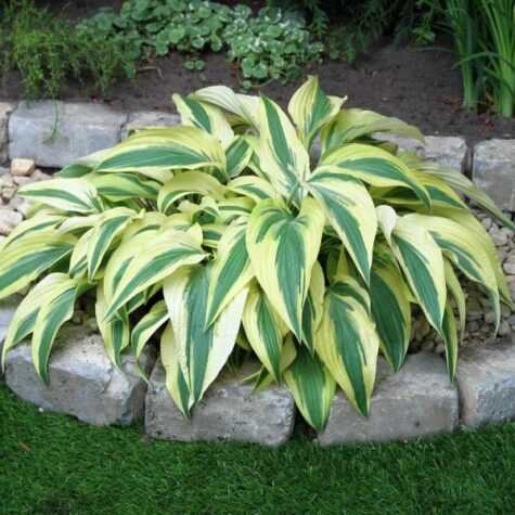 Hosta Lakeside Dragonfly 1 tk
