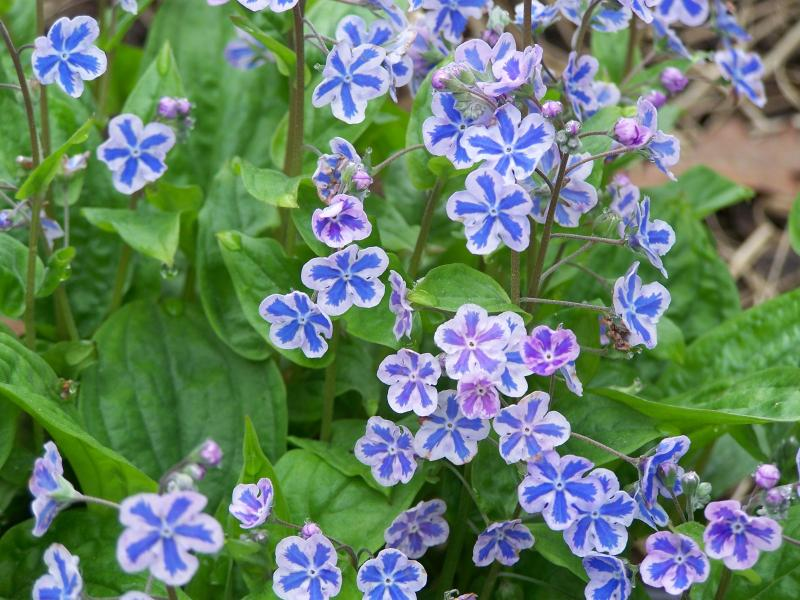 Brunnera Starry Eyes 1tk