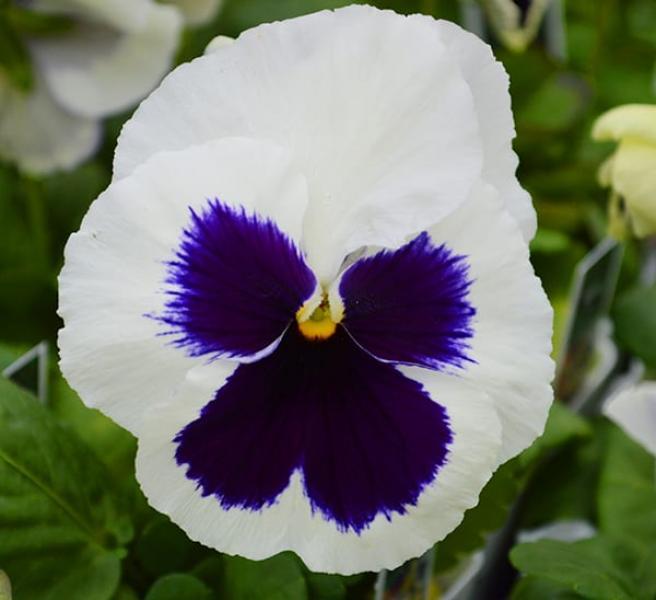Võõrasema taim  valge silmaga 10 tk