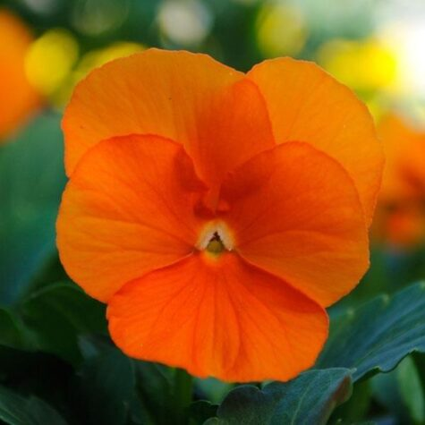 Võõrasema taim oranž 10tk