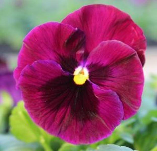 Võõrasema taim  punane 10 tk