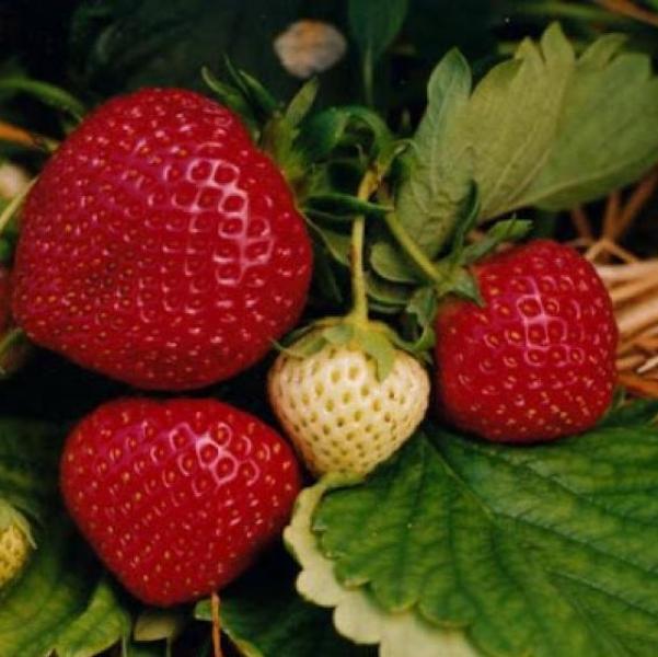 Aedmaasikas Polka taim potis