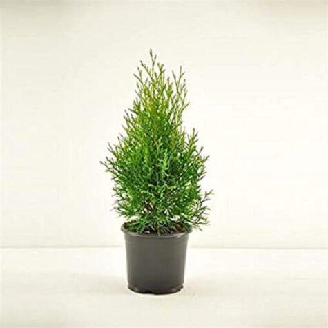 Harilik elupuu Smaragd 50/60cm taim