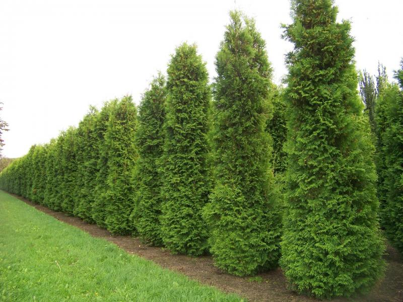 Harilik elupuu Brabant  70/80 cm 1 tk