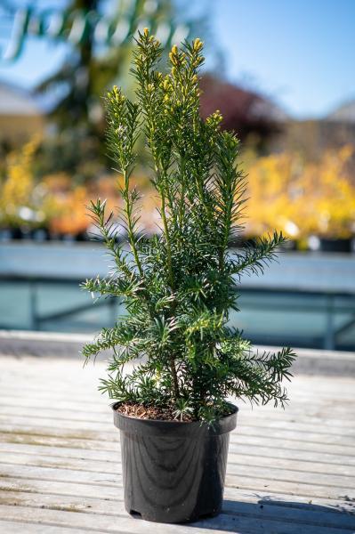 Värd-jugapuu  Hicksii 40 cm taim