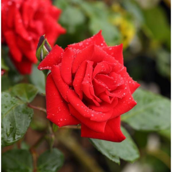 Roos Paul's Scarlet taim