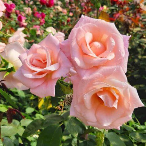 Roos Sweet Velvet taim