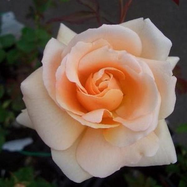 Roos Apricot Nectar taim