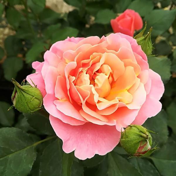 Roos Alojse taim