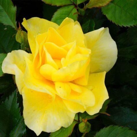 Roos Arthur Bell taim