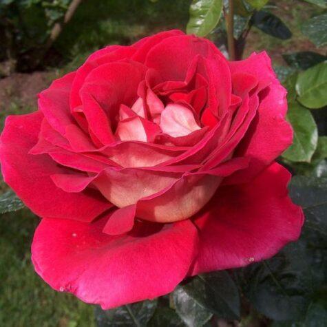Roos Kronenburg taim