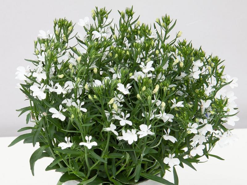 Lobeelia Curacao White 1 tk