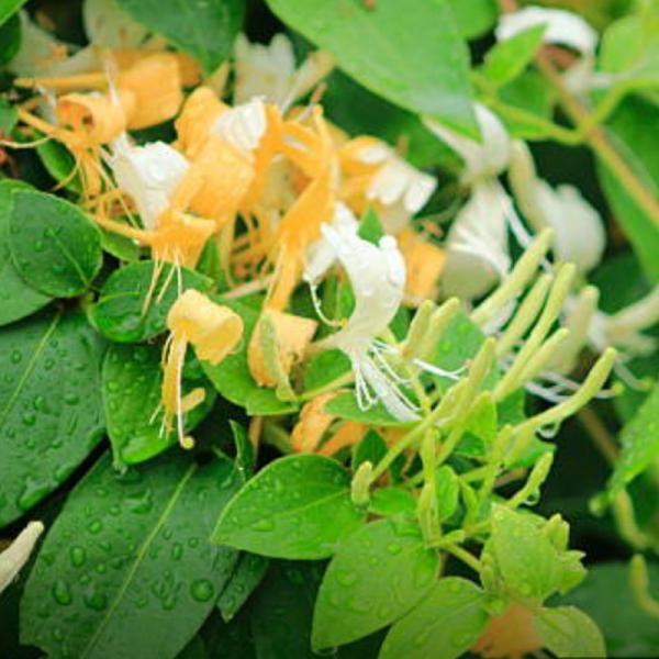 Lõhnav salu-kuslapuu taim