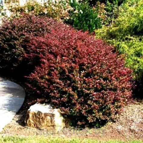 Thunbergi kukerpuu Dart`s Red Lady taim