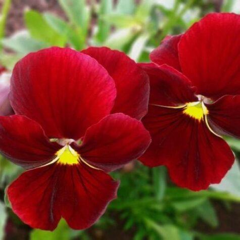 Sarvkannike taim punane