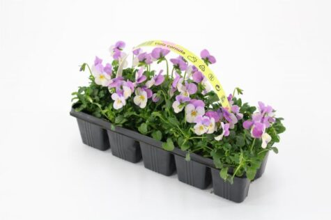 Sarvkannike taim sinine valgega 10tk