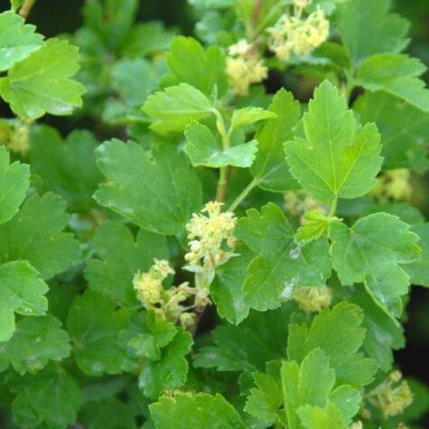 Mage sõstar taim 40/50 cm