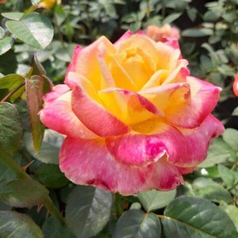 Roos Desse taim