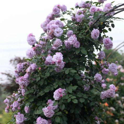 Roos Indigoletta taim