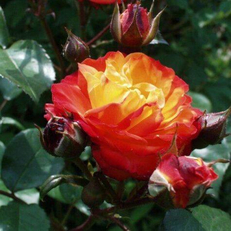 Roos Rumba taim