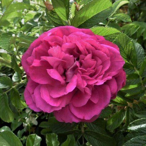 Roos Purple Orient taim