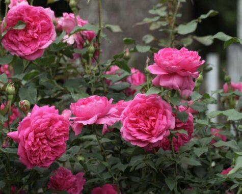 Roos Pink Cloud taim