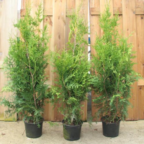 Harilik elupuu Brabant  70/80 cm taim