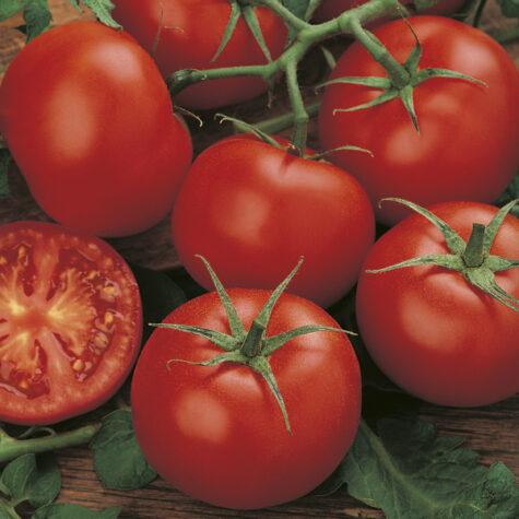 Tomat Moneymaker taim
