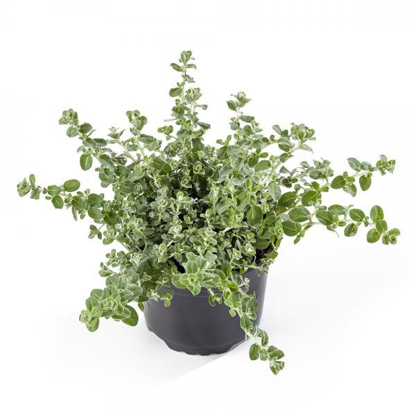 Lamav käokuld Silver Mini taim