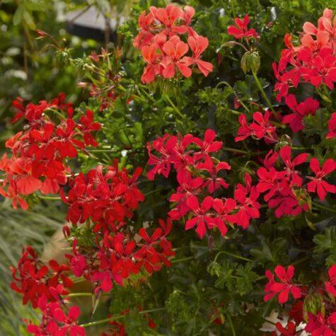 Ripp-pelargoon Decora Red 1 tk
