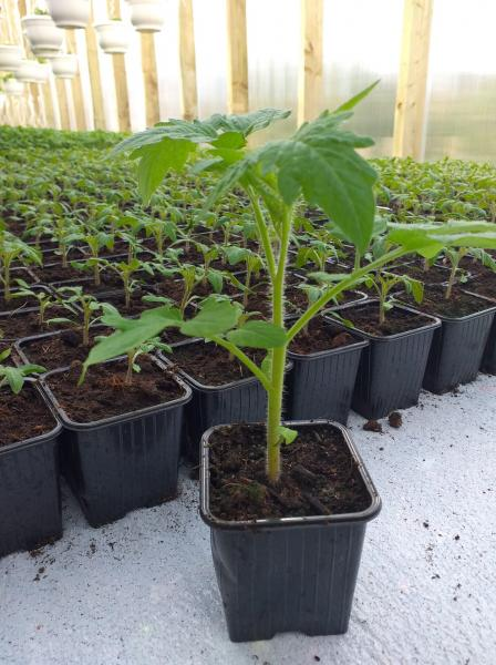 Tomat Betalux taim