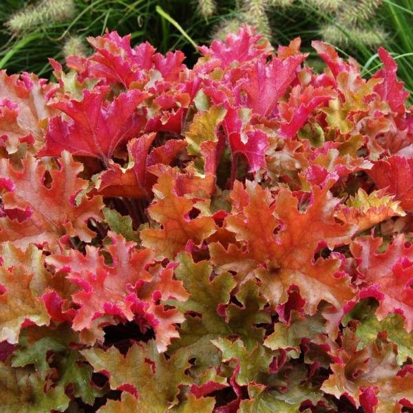 Helmikpööris Marmalade taim