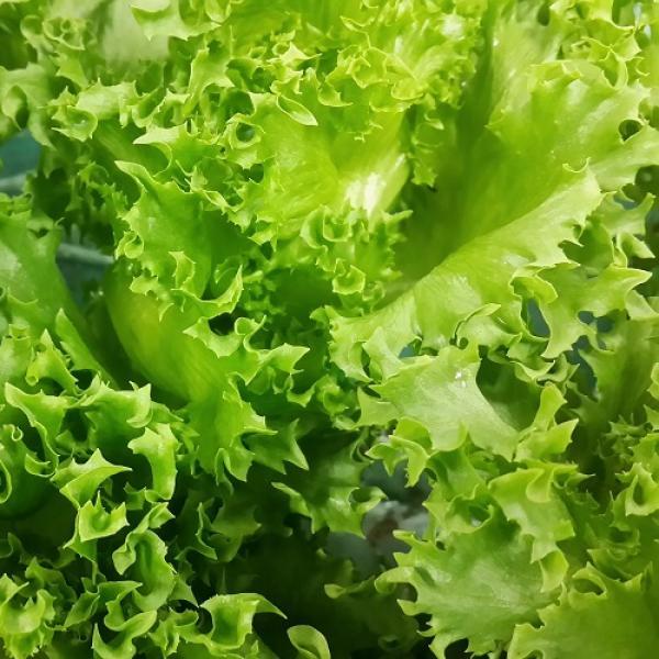 Jääsalat Frillice taim