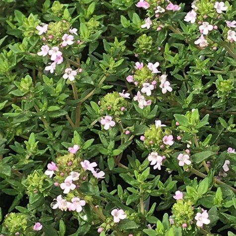 Tüümian taim
