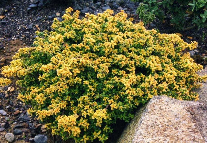Sidrun-liivatee Aureus taim