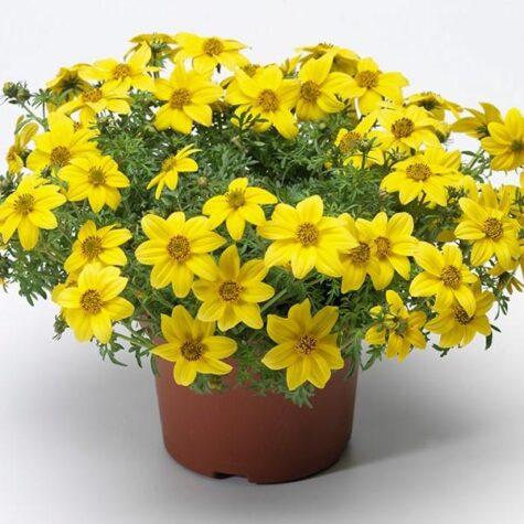 Feerealehus ruse растение