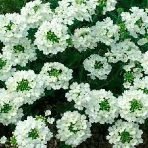 Ripp-raudürt taim