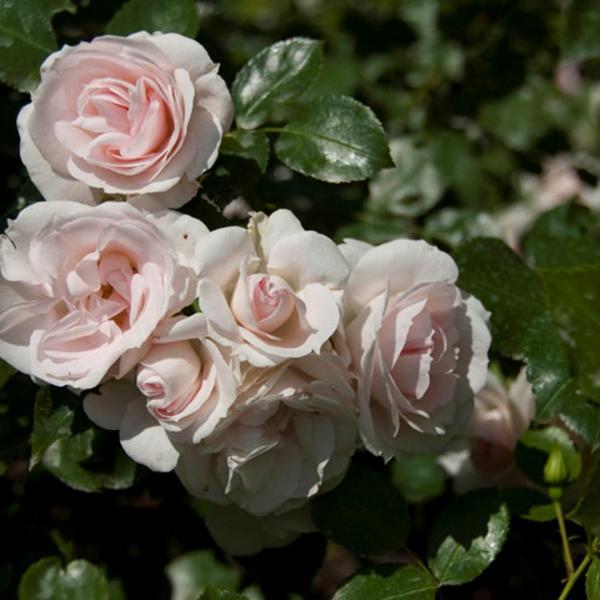 Roos 3L Aspirin taim