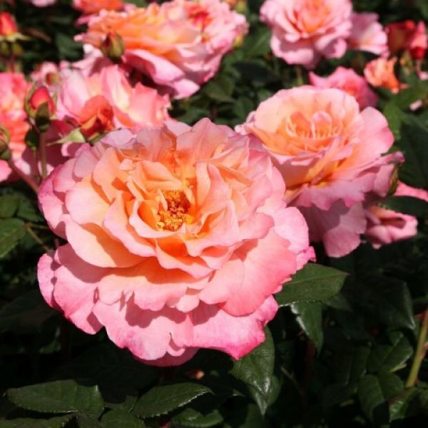 Роза 3л саженец Августы Луизы