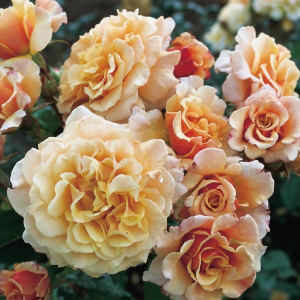 Roos 3L Caramella taim