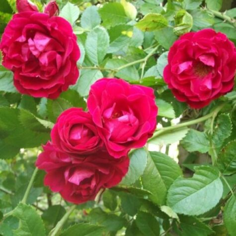 Роза 3L Flammentanz plant