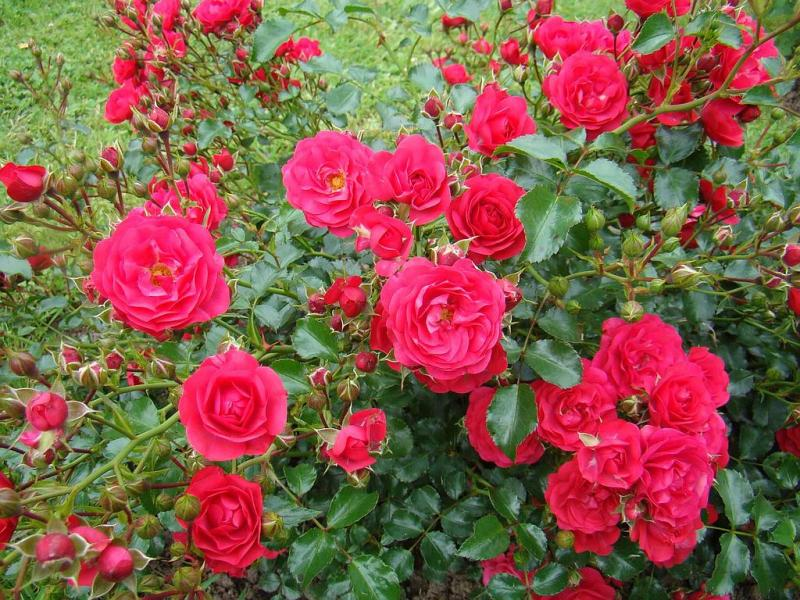 Роза 3L Gärtnerfreude plant