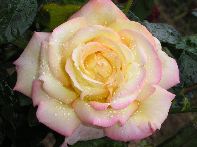 Roos 3L Gloria Dei taim